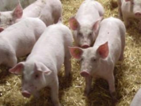 westend-farms-inaugurates-its-ndokoa-integrated-pork-production-and-commercialization-center