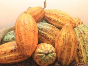 cameroon-cocoa-processed-in-centers-of-excellence-fetches-over-xaf1-600-per-kg-against-xaf1-000-for-average-farm-gate-price