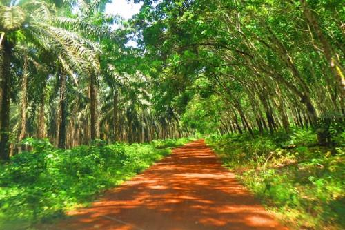 cameroon-safacam-plans-to-invest-xaf3-5-bln-to-extend-its-oil-palm-and-hevea-plantations-in-dizangue