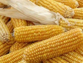 cameroon-bankim-agri-food-park-launched-with-a-yearly-3-500-tons-of-corn-production-promise