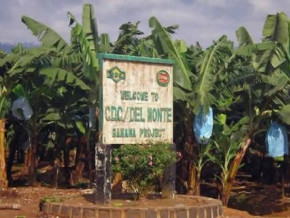 cdc-reappears-on-the-list-of-banana-exporters-after-19-months-of-absence