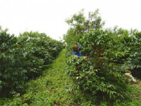 cameroon-offers-bags-of-fertilizers-to-boost-coffee-production-in-the-northwest