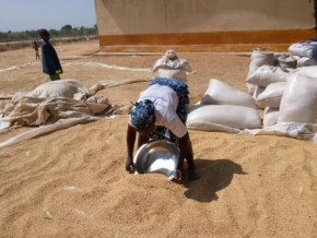 cameroon-rice-producers-in-the-far-north-to-receive-xaf1-2-bln-of-infrastructures-by-may-2020