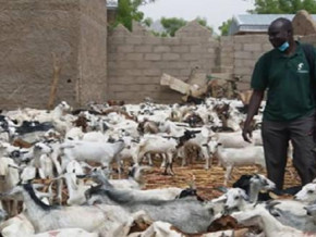cameroon-prodel-donates-2-000-small-ruminants-in-the-far-north-to-help-replenish-the-stock-destroyed-by-boko-haram