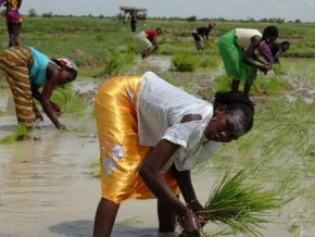 cameroon-seeks-investors-for-large-rice-growing-project-in-the-far-north