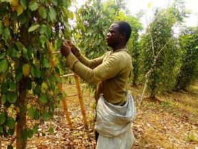 penja-pepper-s-production-threatened-by-biological-pests