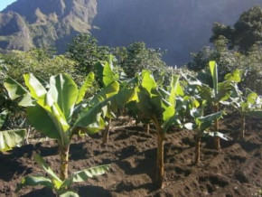 cameroon-mideno-distributes-15-000-plantain-seedlings-in-the-north-west