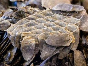 cameroon-383-kg-of-pangolin-scales-seized-by-customs