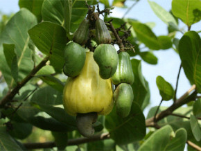 cameroon-aspires-to-be-the-world-s-leading-cashew-producer-by-developing-100-000-hectares-of-the-fruit