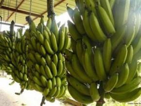 cameroon-banana-exports-slid-over-2-000t-y-y-in-jan-2019