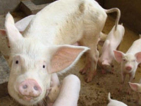 cameroon-the-western-region-brings-its-african-swine-fever-outbreak-under-control