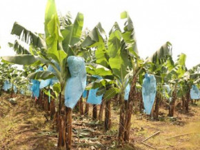 cameroon-to-create-a-plantain-production-basin-in-kribi-and-neighboring-areas