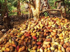 cameroon-cocoa-farm-gate-price-increased-to-cfa1-250-during-the-2017-18-mid-crop