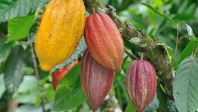 fitch-solutions-raises-2018-19-cocoa-output-forecasts-to-245-000t-from-170-000t-despite-unrest