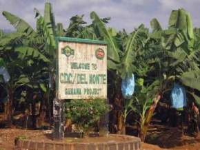 cameroon-plans-to-boost-its-banana-production-with-cfaf29-bln-support-to-cdc