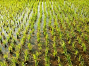 cameroon-800-hectares-arranged-for-rice-growing-within-8-years-thanks-to-a-government-programme
