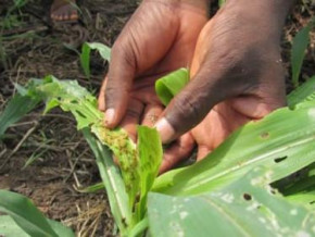 fall-armyworm-a-threat-for-cameroon-s-cereal-production