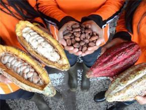 cameroon-s-grade-i-cocoa-shipments-grew-by-713-in-2017-18