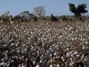 cameroon-sodecoton-expects-600-000-tons-of-yearly-cotton-production-by-2025