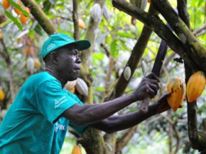 cameroon-to-disburse-xaf50-bln-to-boost-cocoa-coffee-production-in-the-coming-5-years
