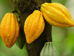 cameroon-cocoa-farm-gate-price-reaches-xfa1-000-kg-again
