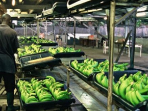 cameroon-exported-17-137-tons-of-banana-in-november-2018