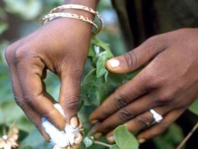 cameroon-sodecoton-to-issue-final-results-of-gmo-cotton-trials-before-2018-ends