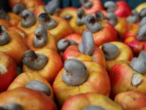 cameroon-sets-a-2019-23-national-strategy-to-develop-cashew-value-chain
