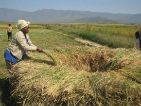 cameroon-rice-production-failed-to-reach-expectation-in-2018-600-000t