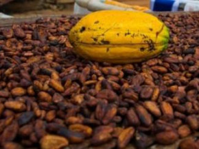 cemac-cocoa-export-prices-shrunk-below-xaf1-000-kg-at-the-end-of-2018