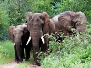cameroon-14ha-of-millet-fields-destroyed-by-elephants-in-the-far-north